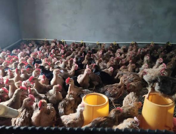 【成功案例】巧用文冠果果壳粉发酵养鸡饲料,鸡群采食速度明显提升。